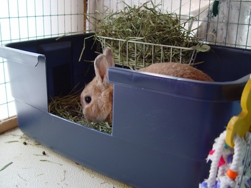 Litter Box Train a Bunny